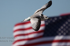 Black-legged Kittiwake (gregpage1465) Tags: galveston bird nature ferry photography fly flying photo texas greg flag wildlife gull bolivar picture americanflag american page blackleggedkittiwake kittiwake blacklegged rissatridactyla gregpage slbflying