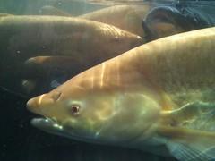 アルビノ草魚