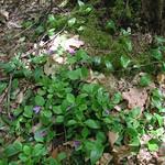 Fringed Polygala (Polygala paucifolia) thumbnail