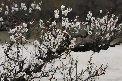 Prunus mume blossoms, January