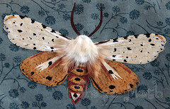 Moth appliqe 1 (ShapeMoth) Tags: brown gray moth fabric saltmarshmoth rawedgeapplique shapemoth