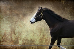 Airen, Nicole Wamsley (Through My Eyes, (astra.amara)) Tags: horses horse beautiful michigan run mane loh groundwork horseportrait horsesinmotion andreaolson nicolewamsley nwamsley astraamara andiwamsley andiolson andreawamsley adjectives101