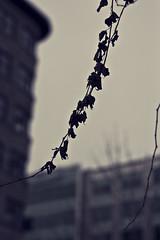 Sous les pavs, la plage (O.Lamalice) Tags: city winter canada nature leaves leaf downtown quebec bokeh hiver qubec ville flou feuilles bokehlicious