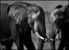 Elephants1 (Gil Aegerter) Tags: africa wonderful nikon wildlife zimbabwe elephants nikkor wonderfulphotos nikkor70210mmf4556af gilaegerter