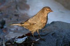 BIRD (ianharrywebb) Tags: birds iansdigitalphotos yahoo:yourpictures=wildlife yahoo:yourpictures=nature