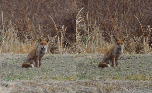 Vulpes vulpes japonica, stereo parallel view
