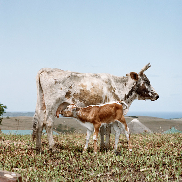 nguni-cow-with-suckling-calf