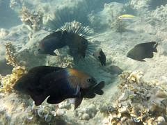 7a. Puerto Plata (diane_thomas22) Tags: dominicanrepublic caribbean puertoplata barcelo playadorada snorkeing