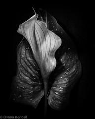Leaf and flower (bratli) Tags: leaf flower cala lily
