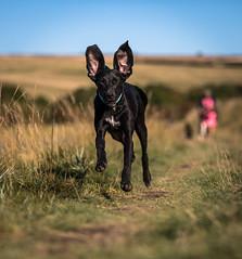 Navigation by sonar (Paul M Loader) Tags: canon 70200 f28 5d mkiv mk4 bonnie rescue dog big ears cute sonar vision