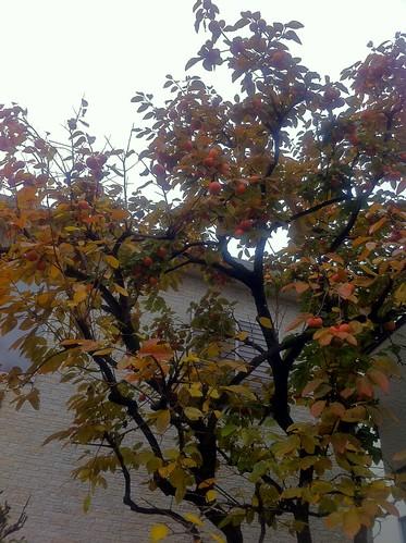 豊作の秋:庭の柿ビフォー