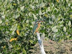 Eisvogel, NGID335737928 (naturgucker.de) Tags: alcedoatthis vereinigtearabischeemirate eisvogel naturguckerde cconnypeterfieger alramsmangroven ngid335737928