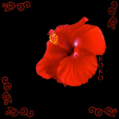 red hibiscus on black (Koko Nut, it's all about the frame) Tags: red black wonder pretty exotic hibiscus tropical bloom koko kokonut