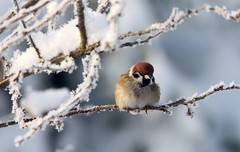 updated info...Tree sparrow on a snowy branch....Explored (niknok2007...) Tags: winter wild snow bird ice nature garden bbc rare treesparrow bbcnews niknok niknok2007 rspbredlisted nicolaratcliffe