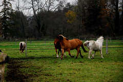 chevaux (pontfire) Tags: autumn horses horse france nature animal automne caballo cheval caballos nikon natural cavalos normandie d200 combat animaux pferde campagne normandy cavalli cavallo cavalo pferd 2010 chevaux eure bagarre cavallos pferds