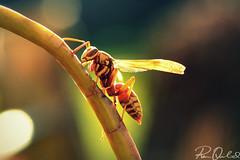(Rhea Quitasol | Photography) Tags: macro backlight bug insect nikon dof wasp bokeh micro nikkor yellowjacket d7000