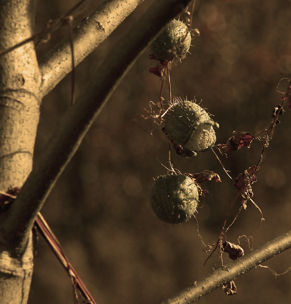 pricklythings-wild cucumber-sepia