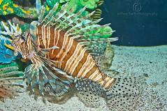 Lion Fish at the Florida Aquarium (thejeffreywscott) Tags: fish tampa aquarium florida fishtank lionfish floridaaquarium colorfulfish