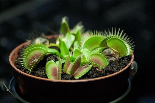 103/365 Dionaea muscipula