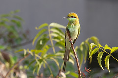 Green bee eater [Canon 1000D XS REBEL][Canon 70 200 F4 L] (Mayur Kotlikar) Tags: green bird canon rebel bee 200 l xs 70 f4 eater 1000d