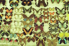 Pinned (Lauren Fowler) Tags: beautiful wings colorful butterflies insects ucsc ucsantacruz pinned