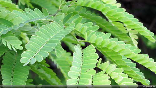 Tamarind Leaves by aviatorjk, on Flickr