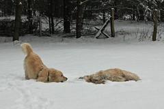 Golden Fun #4: Get up! ( kerstin-horn.de) Tags: schnee winter dog snow goldenretriever fun retriever hund spass quintus immo