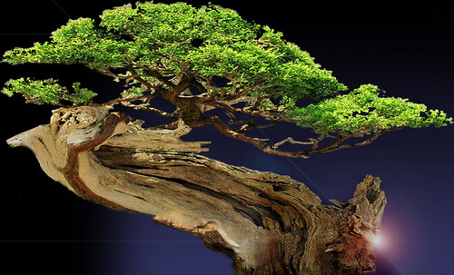 """Bonsai015 • <a style=""""font-size:0.8em;"""" href=""""http://www.flickr.com/photos/30735181@N00/5261952040/"""" target=""""_blank"""">View on Flickr</a>"""