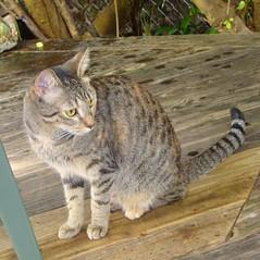 Key West (Florida) November 2010 3178b sq (edgarandron - Busy!) Tags: cats cat tabby kitty coco kitties tabbies blueparrotinn
