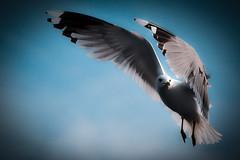 [フリー画像] 動物, 鳥類, カモメ科, カモメ, 201012190700