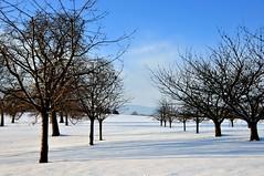 Un verger en hiver (Diegojack) Tags: hiver paysages saison