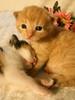 lokakuu6-2007 124b (Fantasyfan.) Tags: sleeping pets animals topv111 tag3 taggedout sisters furry topv555 topv333 tag2 babies tag1 tabby small jerry kitty fluffy kittens tired tiny guarding 2weeks fantasyfanin highqualityanimals siirretty