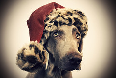 happy holidays! (saikiishiki) Tags: santa christmas xmas red wild portrait dog holiday cute love girl beautiful look hat animal thanks pose season print fur eyes furry friend fuzzy action sweet good best spots weimaraner leopard cheetah uncropped fury woah weim mukha thelittledoglaughed