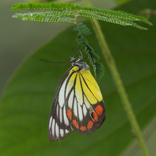 黃肩粉蝶(紅紋粉蝶)