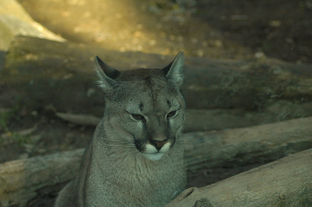 peru cougars personals Dating mature women, cougar dating, date cougar, dating younger men, dating older women.