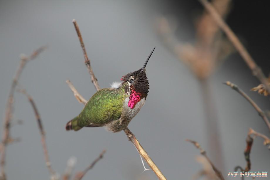 Anna's Hummingbird 122310-2