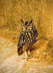 The Stare... (Sandeep Somasekharan) Tags: eyecontact glare nocturnal sandy raptor owl stare birdsofprey eurasianeagleowl bubobubobengalensis sandeepsomasekharan indianrockeagleowl sandyclix