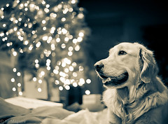 Christmas (154 of 365) (Big Bean Photos) Tags: christmas goldenretriever lights bokeh christmastree explore presents brady frontpage wrappingpaper