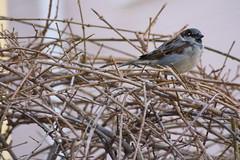 tangled sparrow (michpc26) Tags: cambridge bush sparrow