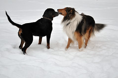 Friends (totheforest) Tags: winter dog snow ice dogs river is vinter collie sweden rottweiler lv hund sn hundar lule norrbotten nikond90 lulelven mjlkudden luleriver nikkorafsdx18105mmf3556gedvr lulelv luleriver