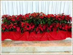 Many potted Euphorbia pulcherrima (Poinsettia) were used to decorate the base of SFA Church's altar