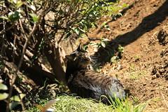 谷中霊園 猫