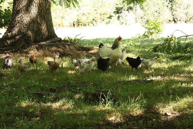 the chooks in the backyard
