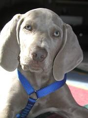 P4040035 (paraleptomys) Tags: shadow dog beautiful grey ghost grau hund weimaraner finn phantom weim