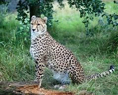 Cheetah (pepemczolz) Tags: cute cat wildlife cheetah chesterzoo minolta50mmf17 sonya350