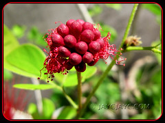 Calliandra emarginata, bursting forth! Shot on December 2010