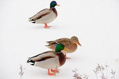 What's wrong with that water? (Karmen Smolnikar) Tags: winter snow bird nature water duck ducks waterbird