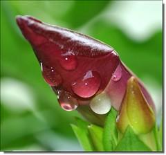 De gota em gota.............................      **** EXPLORE **** (Marina Linhares) Tags: flower verde green nature water gua natureza flor drop gota platinumheartaward waterdropsmacros awesomeblossoms esenciadelanaturaleza ringexcellence dblringexcellence
