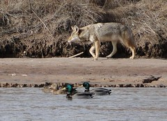 "coyote and mallards • <a style=""font-size:0.8em;"" href=""http://www.flickr.com/photos/10528393@N00/5331615007/"" target=""_blank"">View on Flickr</a>"
