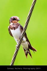 Barn Swallow (Hirundo rustica) (suhaaz Kechery) Tags: barnswallow birdwatching hirundorustica birdphotography barnswallowhirundorustica canon60d suhaazkechery sigma150500dgapoos koompuzhabridge